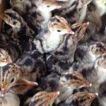 Herb Fed turkey chicks